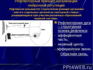 Рефлекторный принцип организации нейронной регуляции Рефлексом называется стерео