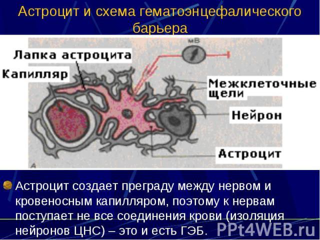 Астроцит и схема гематоэнцефалического барьера Астроцит создает преграду между нервом и кровеносным капилляром, поэтому к нервам поступает не все соединения крови (изоляция нейронов ЦНС) – это и есть ГЭБ.