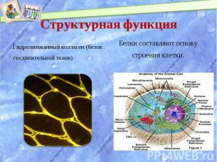 Гидролизованный коллаген (белок соединительной ткани) Гидролизованный коллаген (