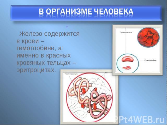 Железо содержится в крови – гемоглобине, а именно в красных кровяных тельцах – эритроцитах. Железо содержится в крови – гемоглобине, а именно в красных кровяных тельцах – эритроцитах.