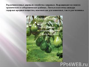 Род вечнозеленых деревьев семейства лавровых. Выращивают во многих тропических и
