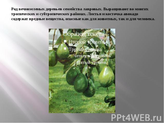 Род вечнозеленых деревьев семейства лавровых. Выращивают во многих тропических и субтропических районах. Листья и косточка авокадо содержат вредные вещества, опасные как для животных, так и для человека.