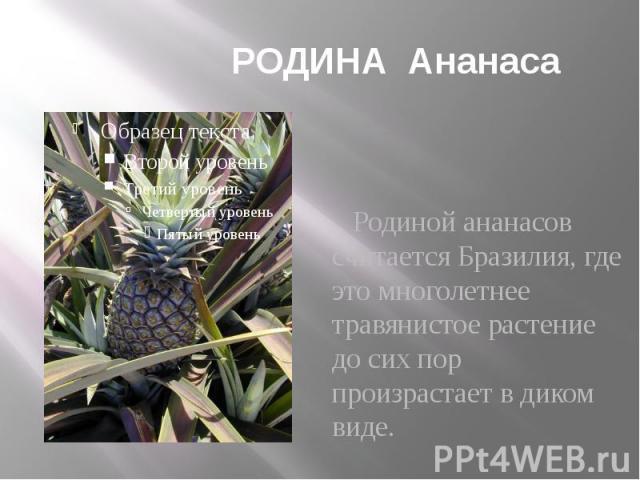 РОДИНА Ананаса Родиной ананасов считается Бразилия, где это многолетнее травянистое растение до сих пор произрастает в диком виде.