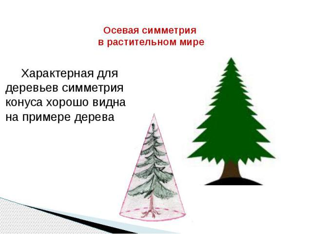 Осевая симметрия в растительном мире Характерная для деревьев симметрия конуса хорошо видна на примере дерева
