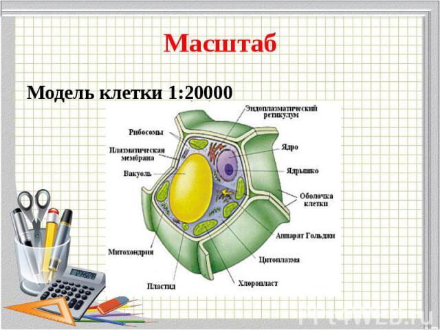 Модель клетки 1:20000 Модель клетки 1:20000