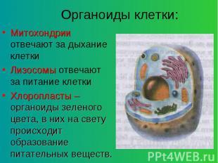 Митохондрии отвечают за дыхание клетки Митохондрии отвечают за дыхание клетки Ли