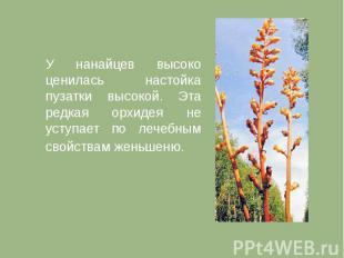 У нанайцев высоко ценилась настойка пузатки высокой. Эта редкая орхидея не уступ