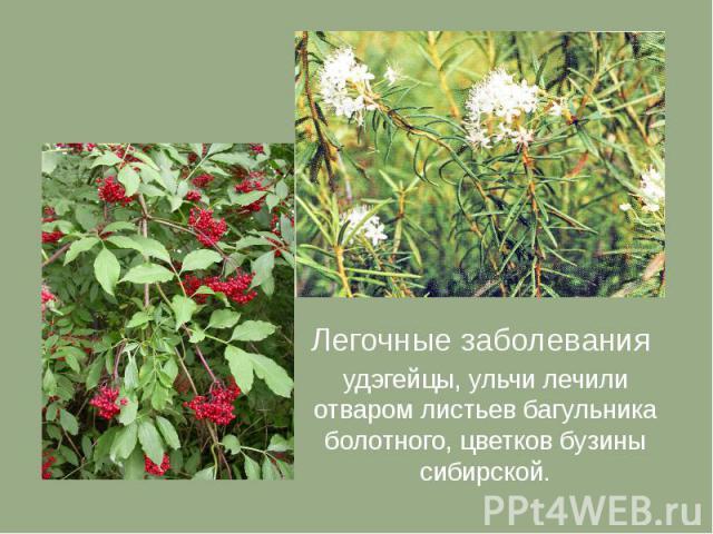 Легочные заболевания удэгейцы, ульчи лечили отваром листьев багульника болотного, цветков бузины сибирской.