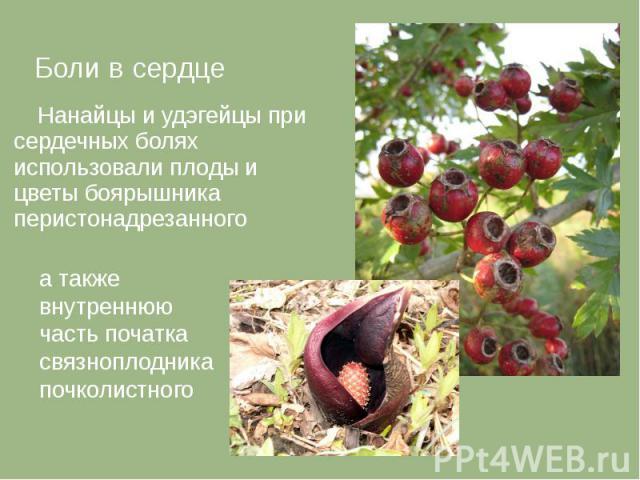Боли в сердце Боли в сердце Нанайцы и удэгейцы при сердечных болях использовали плоды и цветы боярышника перистонадрезанного