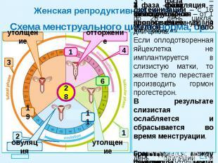 Женская репродуктивная система Схема менструального цикла (норма, ср. знач.)