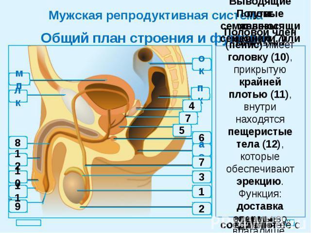 Мужская репродуктивная система Общий план строения и функции