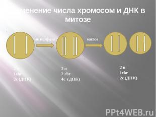 Изменение числа хромосом и ДНК в митозе