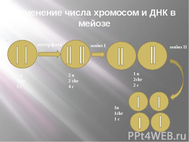Изменение числа хромосом и ДНК в мейозе
