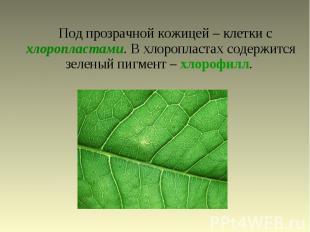 Под прозрачной кожицей – клетки с хлоропластами. В хлоропластах содержится зелен