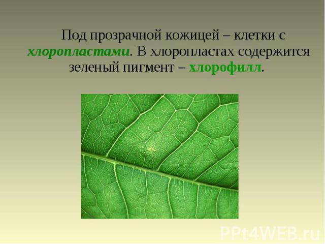 Под прозрачной кожицей – клетки с хлоропластами. В хлоропластах содержится зеленый пигмент – хлорофилл.