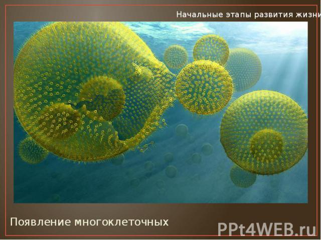 Появление многоклеточных Появление многоклеточных