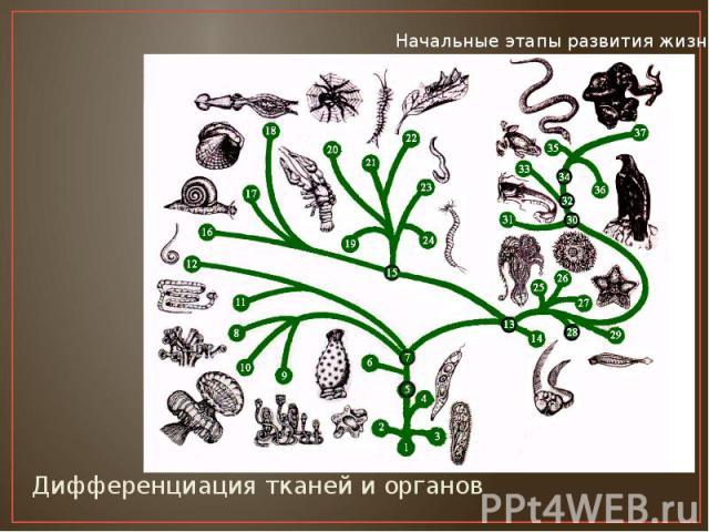 Дифференциация тканей и органов Дифференциация тканей и органов