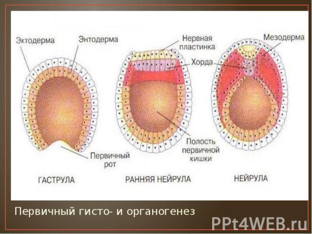Первичный гисто- и органогенез