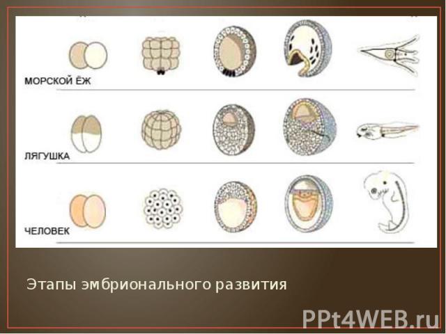 Этапы эмбрионального развития Этапы эмбрионального развития