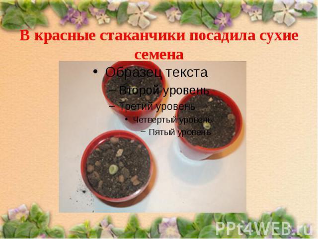 В красные стаканчики посадила сухие семена