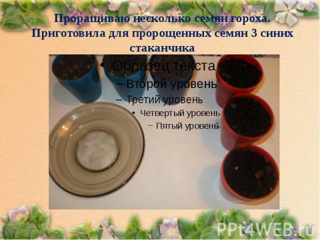 Проращиваю несколько семян гороха. Приготовила для пророщенных семян 3 синих стаканчика
