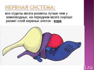 все отделы мозга развиты лучше чем у земноводных, на переднем мозге хорошо разви