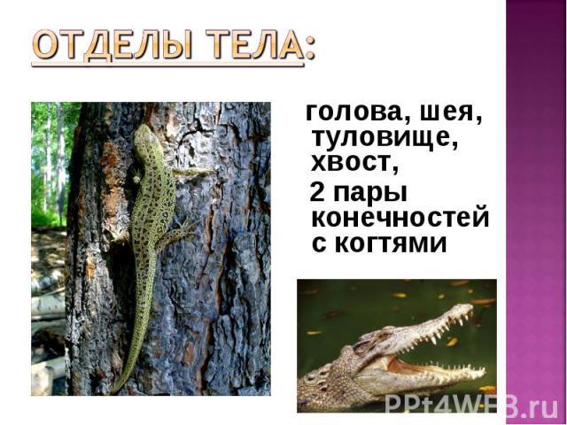 голова, шея, туловище, хвост, голова, шея, туловище, хвост, 2 пары конечностей с когтями