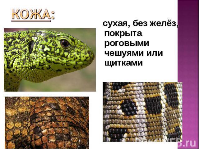 сухая, без желёз, покрыта роговыми чешуями или щитками сухая, без желёз, покрыта роговыми чешуями или щитками