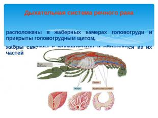 Дыхательная система речного рака расположены в жаберных камерах головогруди и пр