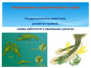Размножение и развитие речного рака Раздельнополое животное, развитие прямое, са