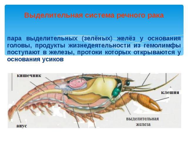 Выделительная система речного рака пара выделительных (зелёных) желёз у основания головы, продукты жизнедеятельности из гемолимфы поступают в железы, протоки которых открываются у основания усиков