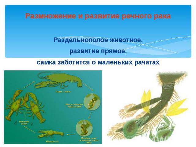 Размножение и развитие речного рака Раздельнополое животное, развитие прямое, самка заботится о маленьких рачатах