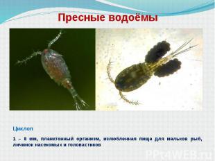 Пресные водоёмы Циклоп 1 – 8 мм, планктонный организм, излюбленная пища для маль