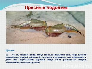 Пресные водоёмы Щитень 1,2 – 7,5 см, хищные рачки, могут питаться мальками рыб.