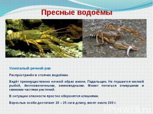 Пресные водоёмы Узкопалый речной рак Распространён в стоячих водоёмах. Ведёт пре