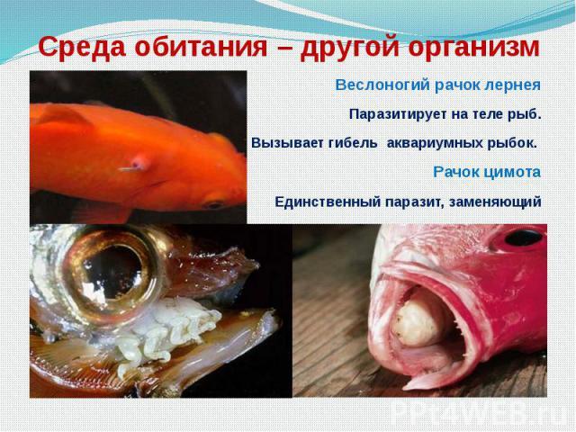 Среда обитания – другой организм Веслоногий рачок лернея Паразитирует на теле рыб. Вызывает гибель аквариумных рыбок. Рачок цимота Единственный паразит, заменяющий орган тела – язык.