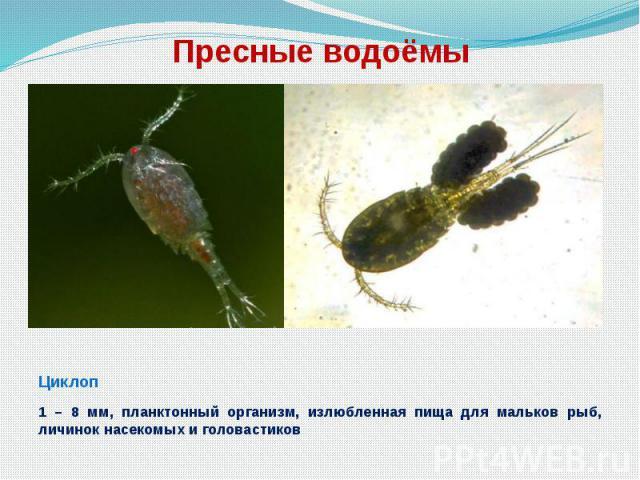 Пресные водоёмы Циклоп 1 – 8 мм, планктонный организм, излюбленная пища для мальков рыб, личинок насекомых и головастиков