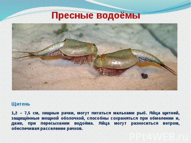 Пресные водоёмы Щитень 1,2 – 7,5 см, хищные рачки, могут питаться мальками рыб. Яйца щитней, защищённые мощной оболочкой, способны сохраняться при обмелении и, даже, при пересыхании водоёма. Яйца могут разноситься ветром, обеспечивая расселение рачков.