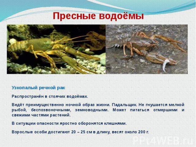 Пресные водоёмы Узкопалый речной рак Распространён в стоячих водоёмах. Ведёт преимущественно ночной образ жизни. Падальщик. Не гнушается мелкой рыбой, беспозвоночными, земноводными. Может питаться отмершими и свежими частями растений. В ситуации опа…