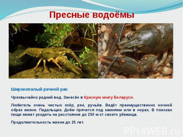 Пресные водоёмы Широкопалый речной рак Чрезвычайно редкий вид. Занесён в Красную книгу Беларуси. Любитель очень чистых озёр, рек, ручьёв. Ведёт преимущественно ночной образ жизни. Падальщик. Днём прячется под камнями или в норах. В поисках пищи може…