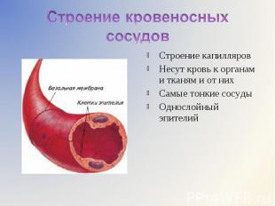 Строение капилляров Строение капилляров Несут кровь к органам и тканям и от них