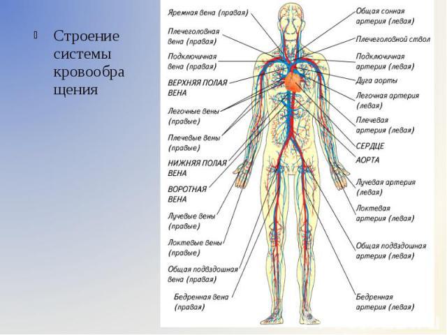 Строение системы кровообращения Строение системы кровообращения