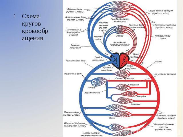 Схема кругов кровообращения Схема кругов кровообращения