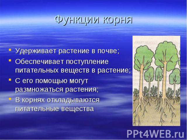Удерживает растение в почве; Удерживает растение в почве; Обеспечивает поступление питательных веществ в растение; С его помощью могут размножаться растения; В корнях откладываются питательные вещества