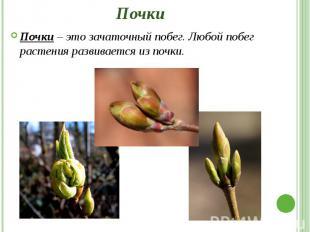 Почки Почки – это зачаточный побег. Любой побег растения развивается из почки.