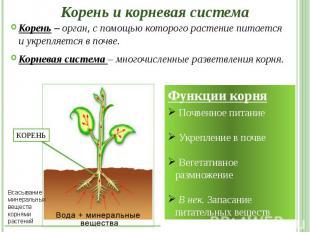 Корень и корневая система Корень – орган, с помощью которого растение питается и