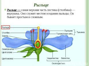 Рыльце Рыльце — самая верхняя часть пестика (столбика) — верхушка. Оно служит ме