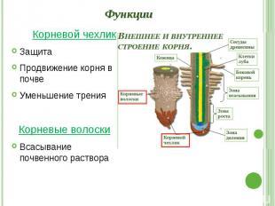 Функции Корневой чехлик Защита Продвижение корня в почве Уменьшение трения Корне