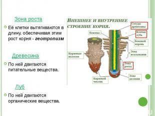 Зона роста Её клетки вытягиваются в длину, обеспечивая этим рост корня - геотроп