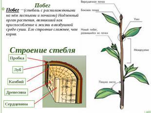 Побег Побег –(стебель с расположенными на нём листьями и почками) Надземный орга